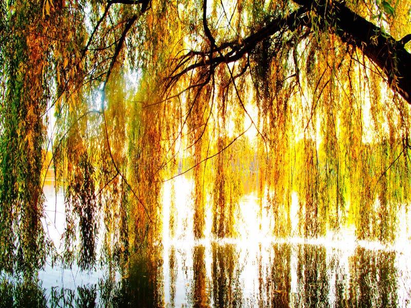 jezioro nad drzewną wierzbą zdjęcia royalty free