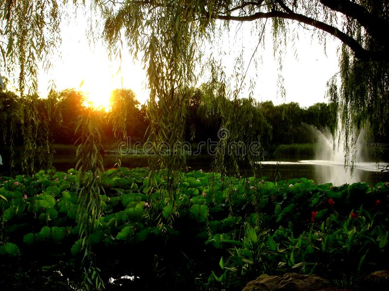 Jezioro, płacząca wierzba, zmierzch, lotosowi kwiaty i czarowna atmosfera w Pekin mieście, Chiny obrazy royalty free