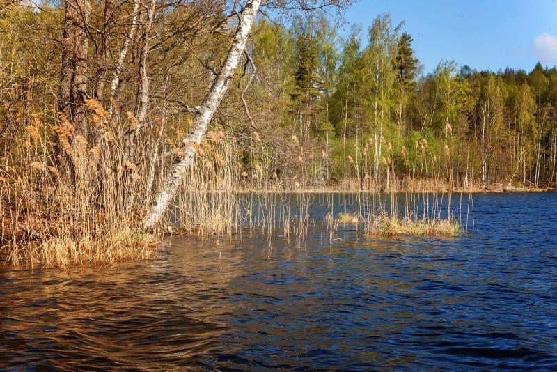 Jezioro przerastający z trawą fotografia royalty free