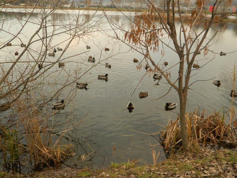 Jezioro z kaczkami pływa blisko brzeg fotografia royalty free