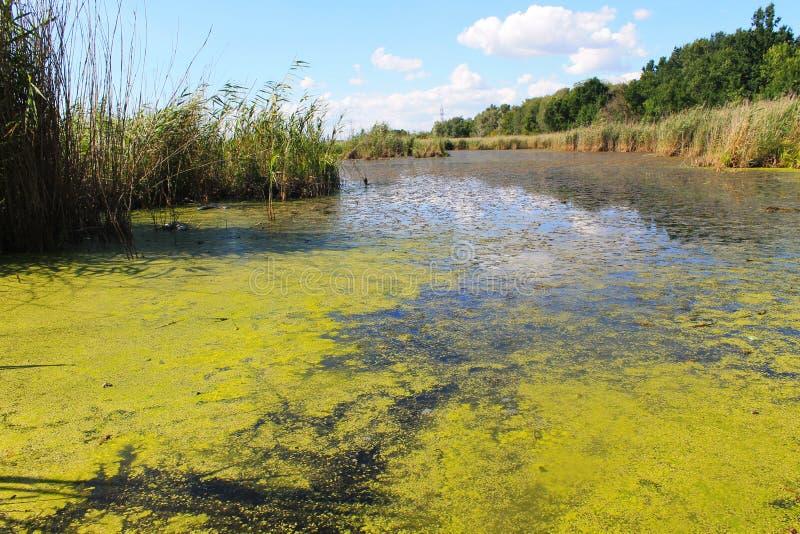 Jezioro z zielonymi algami i duckweed na wodzie ukazujemy się obraz royalty free