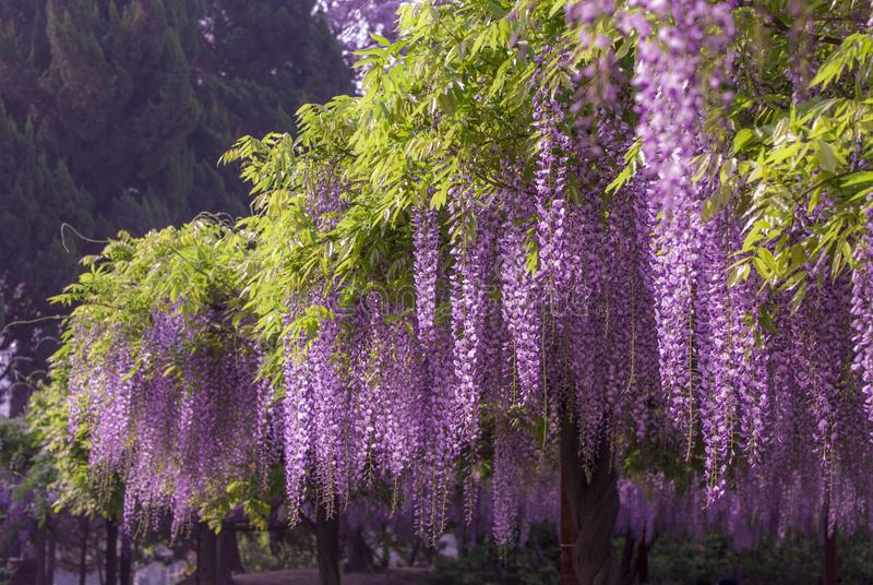 Jiading Wisteria Park. Is located on the riverside of Bole Road in the northwestern suburb of Shanghai, China. It was built to commemorate the 10th anniversary