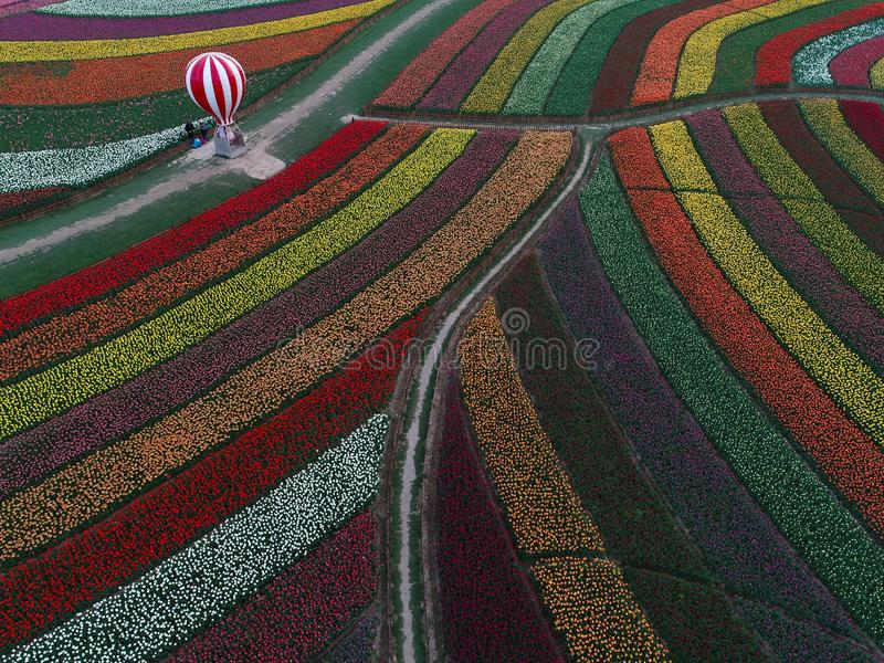 Jiangsu yancheng: the aerial photography of 30 million tulips in the Netherlands is intoxicating. Aerial view of more than 30 million tulips in full blossom at royalty free stock image