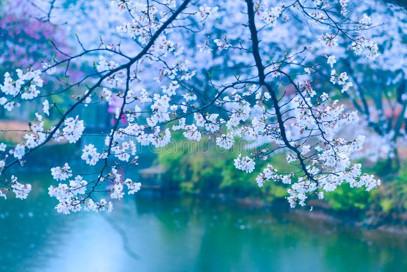 Cherry blossoms are like snow royalty free stock photos