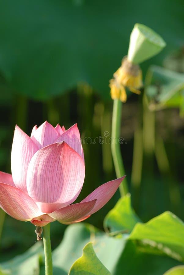 Jiangxi guangchang white lotus lotus flower stock photo image of download jiangxi guangchang white lotus lotus flower stock photo image of flowers jiangxi mightylinksfo
