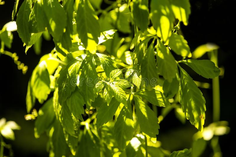 Jiaogulan, Chinese herb for longevity. With leaves in sun royalty free stock photography