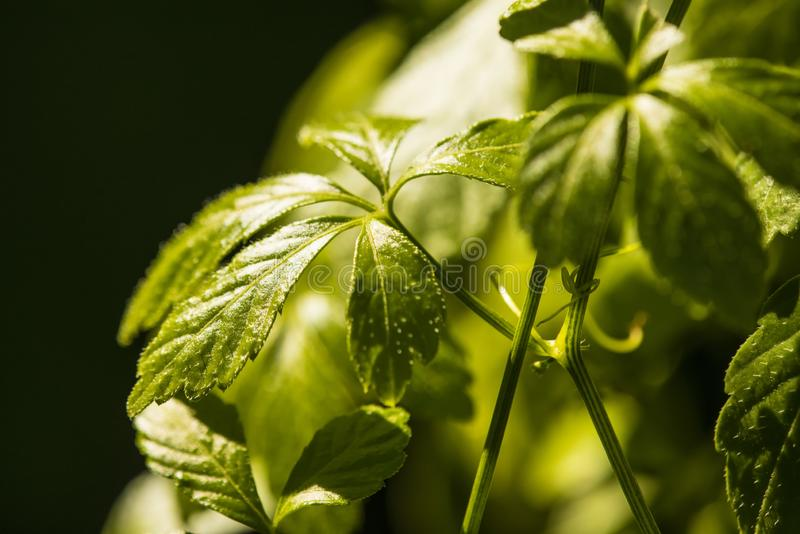 Jiaogulan, Chinese herb for longevity. With leaves in sun stock photography