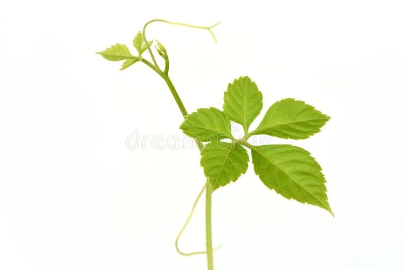 Jiaogulan, Gynostemma, grama do milagre, ginsém do sul, 5-Leaf ginsém, chá de Penta, árvore fotos de stock