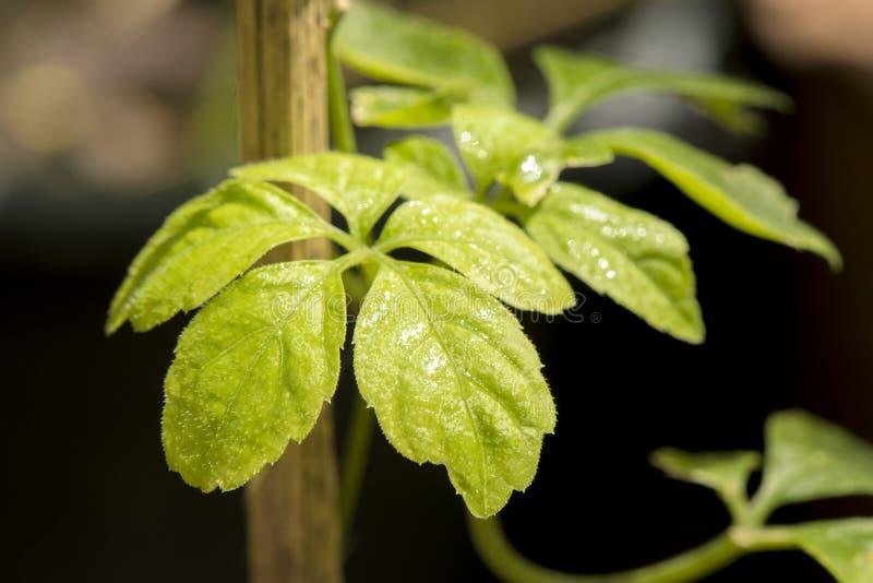 Jiaogulan, Gynostemma, grama do milagre, ginsém do sul, 5-Leaf ginsém, chá de Penta, árvore no fundo da natureza foto de stock