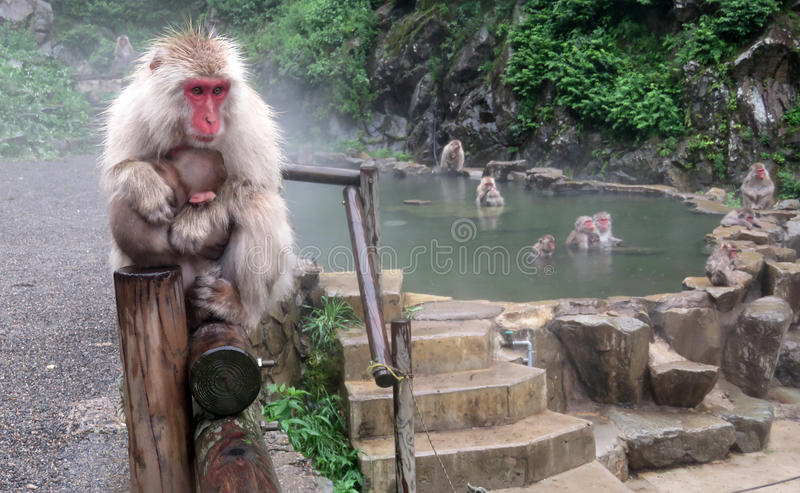 Jigokudani snow monkey park. Japanese macaques in hot tub onsen in summer in Yamanouchi in Japan royalty free stock photo