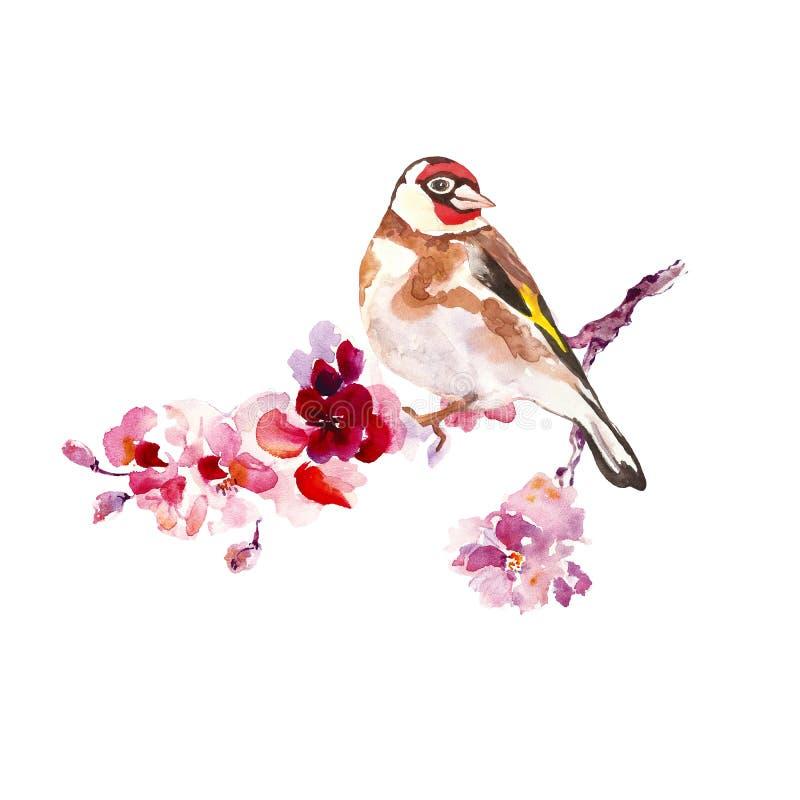 Jilguero del p?jaro de la acuarela en la rama de ?rbol de Sakura, aislada en el fondo blanco Ejemplo de la flor de cerezo ilustración del vector