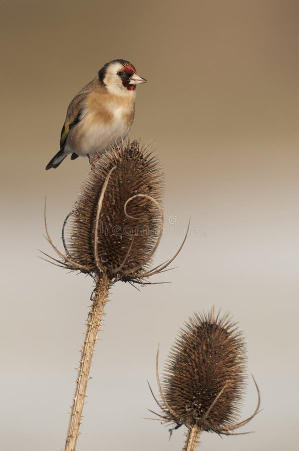 Jilguero europeo (carduelis del Carduelis) en cardo del invierno fotos de archivo