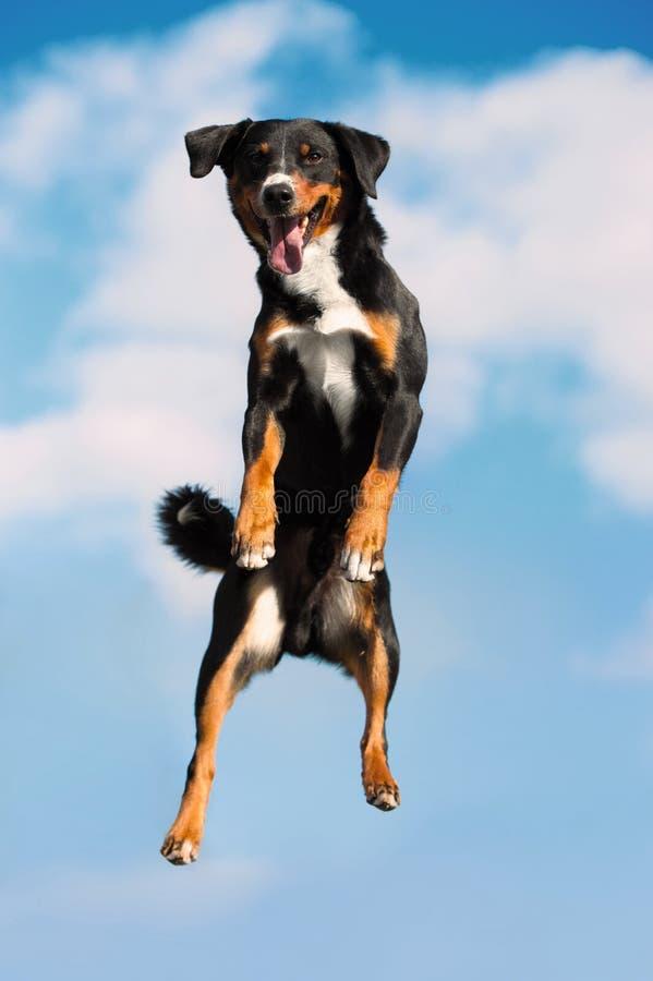Jimps tricolori del cane alti nel cielo fotografia stock