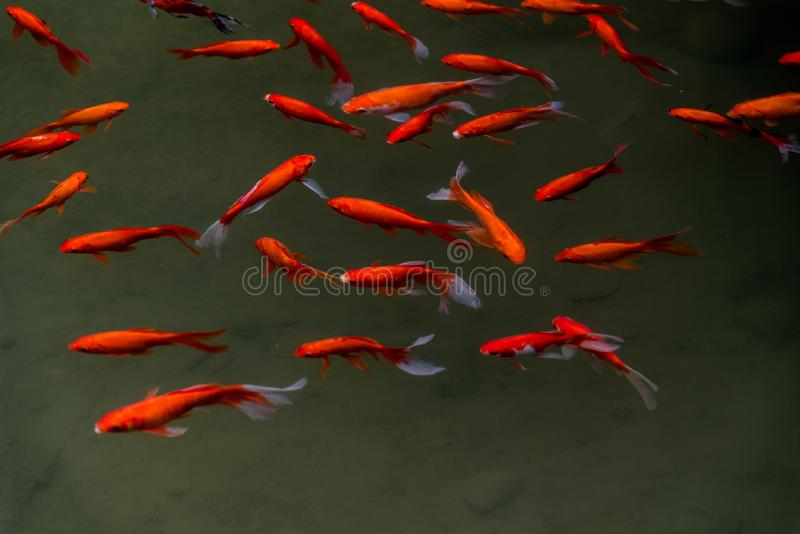 Jin carps with colorful appearance. A group of jin carps with colorful appearance with lotus leaves in a pond stock photography