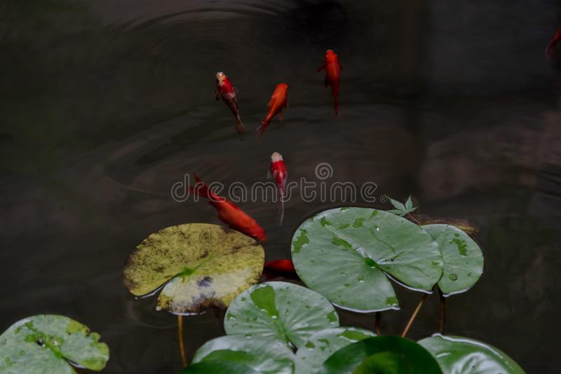 Jin carps with colorful appearance. A group of jin carps with colorful appearance with lotus leaves in a pond stock photo