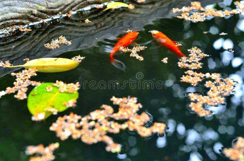 Jin carps swimming a pool. Beautiful red carps swimming in a pool with fall yellow fall leaves royalty free stock photography