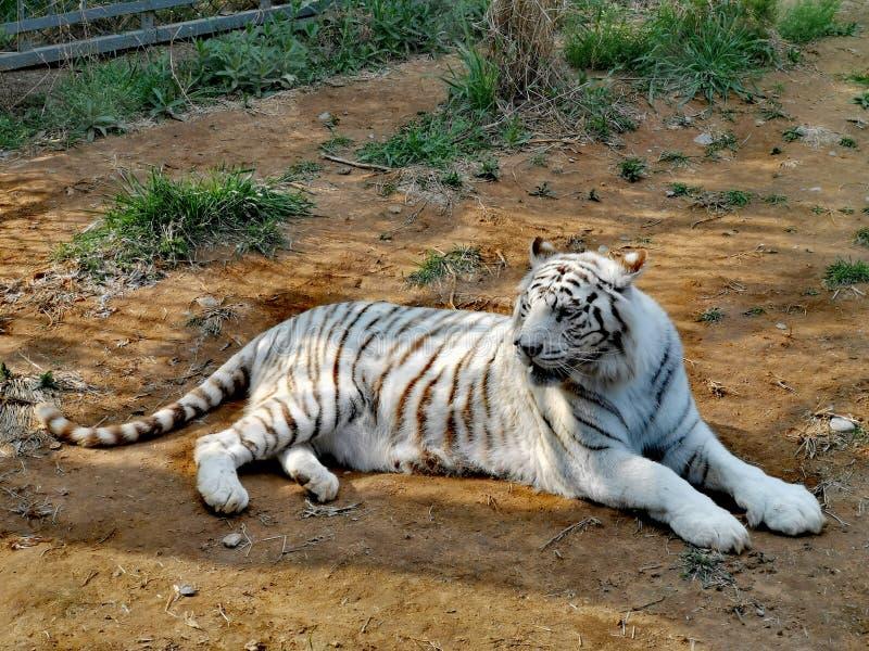 White Tiger @ Jinan Wildlife World, Shandong China. Jinan wildlife world shandong china wh whi whit white ti  er stock images