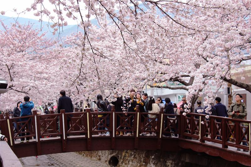 Jinhae Cherry Blossoms stockfotos