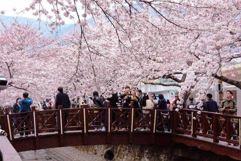 Jinhae Cherry Blossoms photos stock