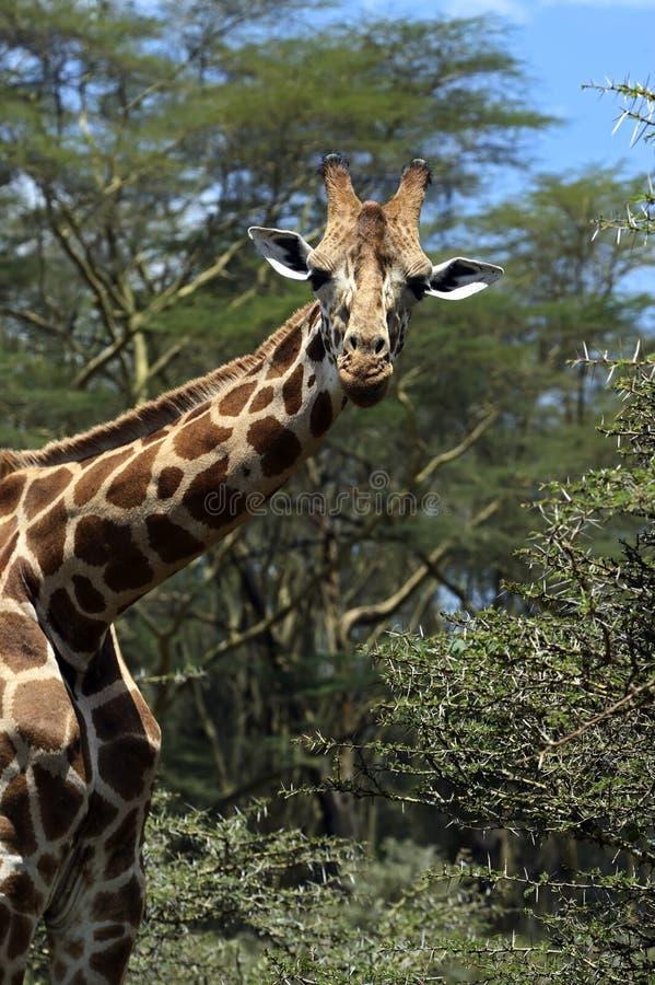 Download Jirafa foto de archivo. Imagen de sabana, mamíferos, peligroso - 44851710