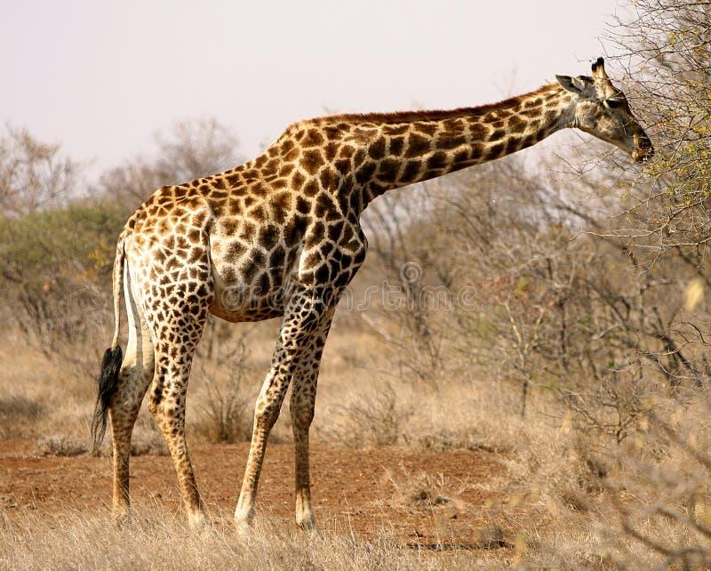 Jirafa africana foto de archivo libre de regalías