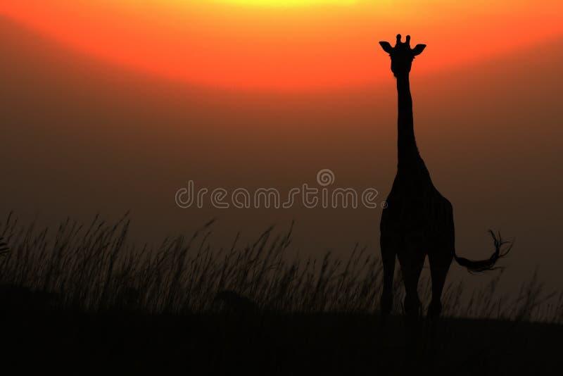 Jirafa africana contra el sol rojo en puesta del sol imagenes de archivo