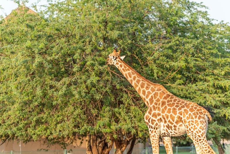 Jirafa alta animal salvaje hermosa en Al Ain Zoo Safari Park, United Arab Emirates foto de archivo