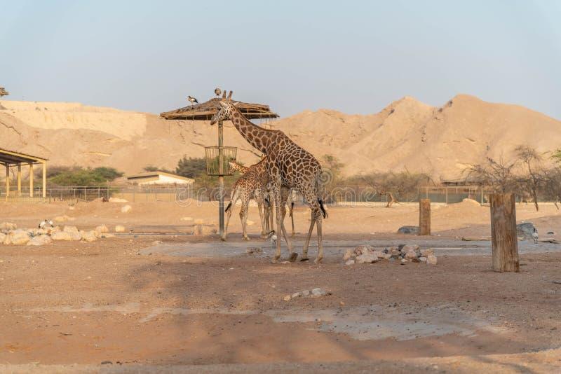 Jirafa alta animal salvaje hermosa en Al Ain Zoo Safari Park, United Arab Emirates fotografía de archivo