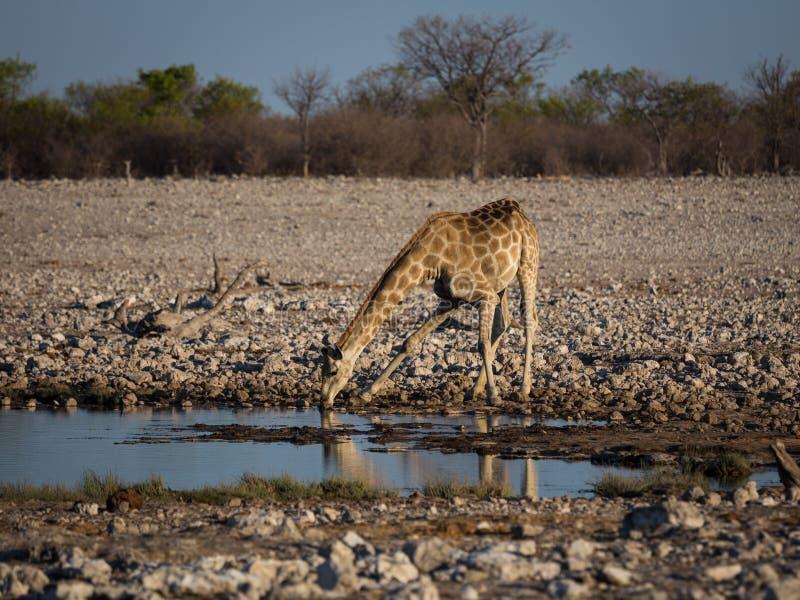 Jirafa angolana que bebe en el waterhole imagenes de archivo