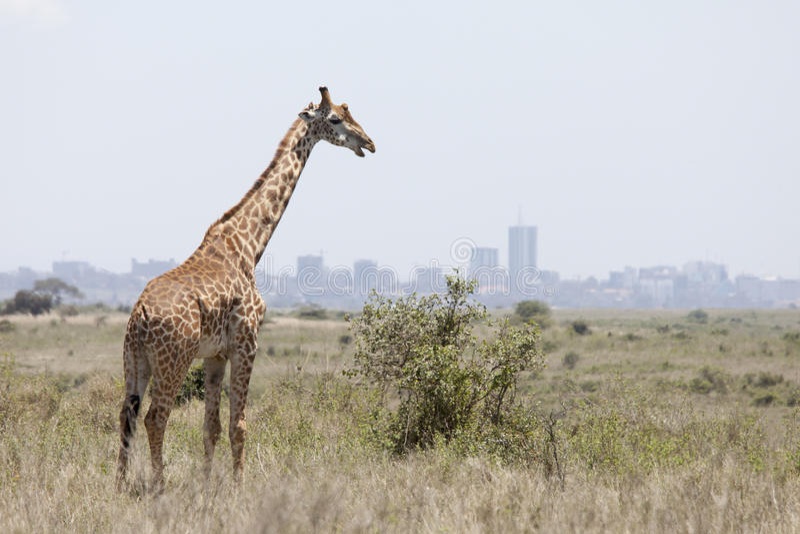 Jirafa con Nairobi en fondo imagen de archivo libre de regalías