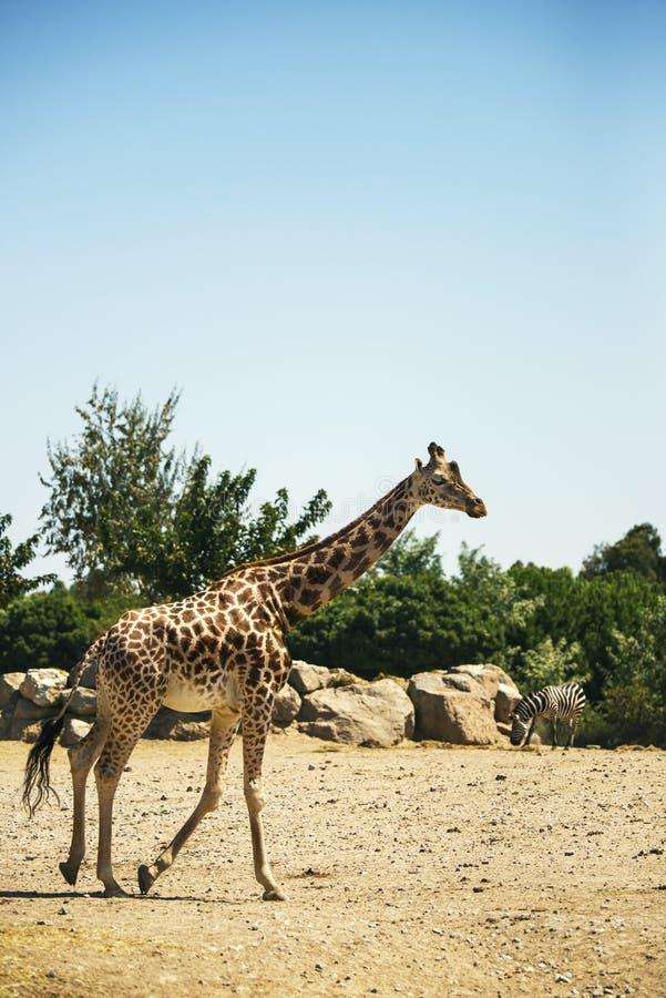 Jirafa corriente en el parque zoológico con una cebra foto de archivo libre de regalías