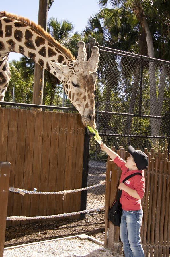 Jirafa de alimentación en el parque zoológico de Nales imagen de archivo