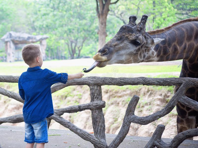Jirafa de alimentación en parque zoológico imagen de archivo