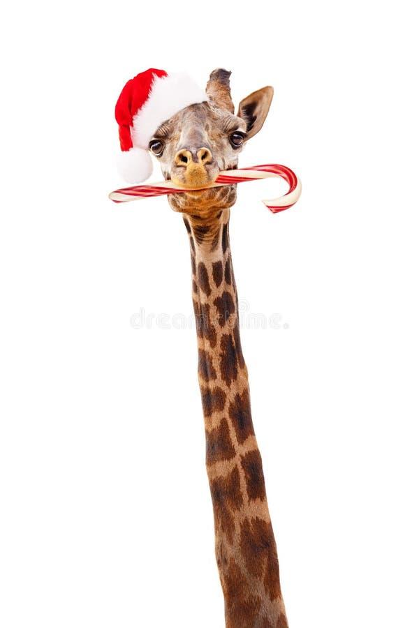 Jirafa de la Navidad con el bastón de caramelo imágenes de archivo libres de regalías