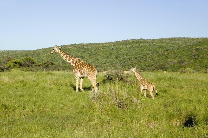 Jirafa del Masai de la madre y del bebé en la hierba verde de la conservación de la fauna de Lewa, Kenia del norte, África fotos de archivo