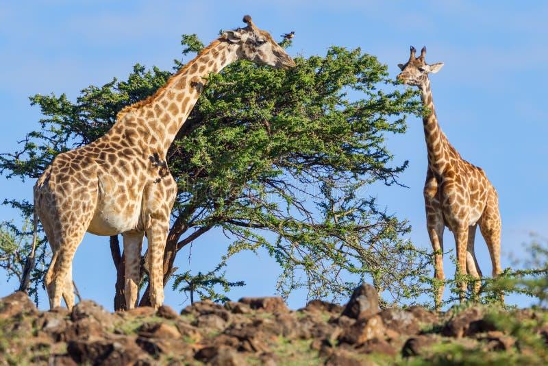 Jirafa del Masai que come las hojas del acacia foto de archivo