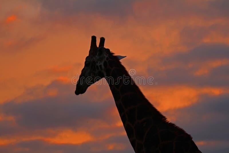 Jirafa delante del cielo nublado rojo fotos de archivo