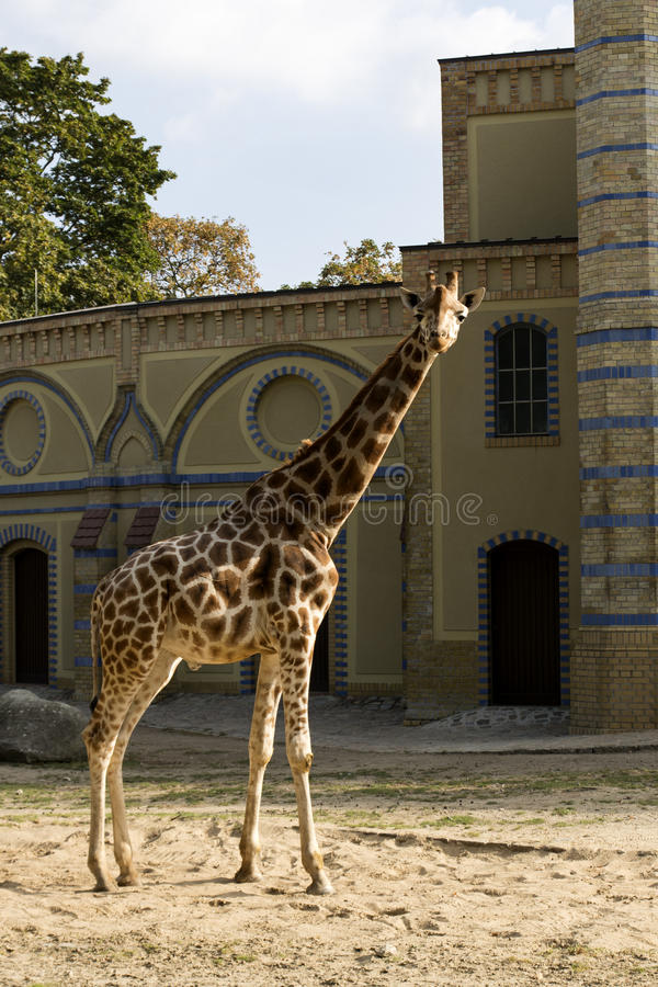 Jirafa en Berlin Zoo imágenes de archivo libres de regalías