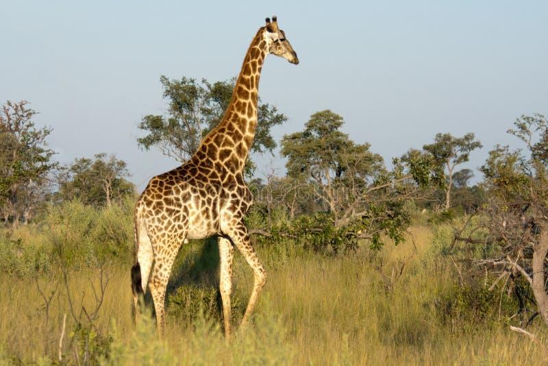 Jirafa en el delta de Okavango imagen de archivo libre de regalías