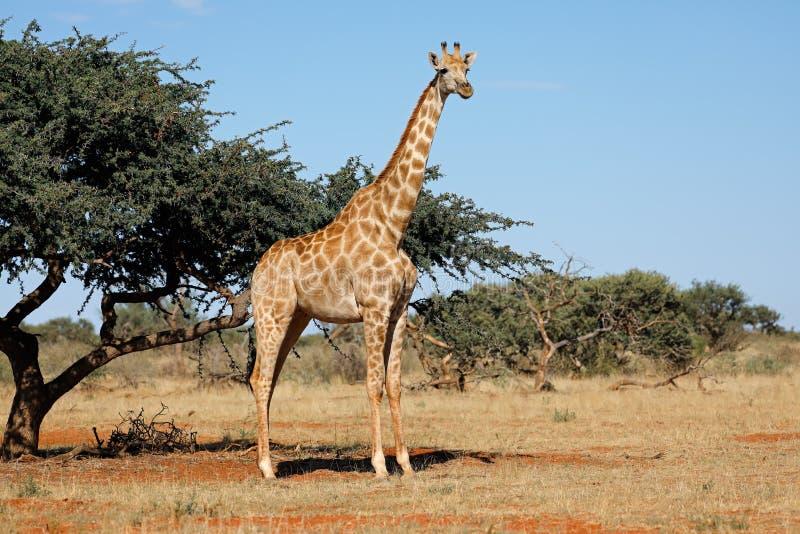 Jirafa en el hábitat natural - Suráfrica fotografía de archivo