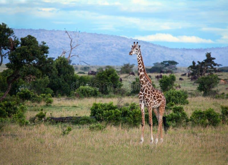 Jirafa En El Masai Mara Fotografía de archivo