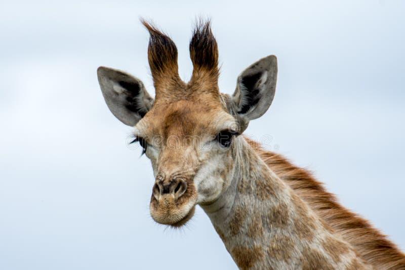 Jirafa en el parque de Kruger fotos de archivo
