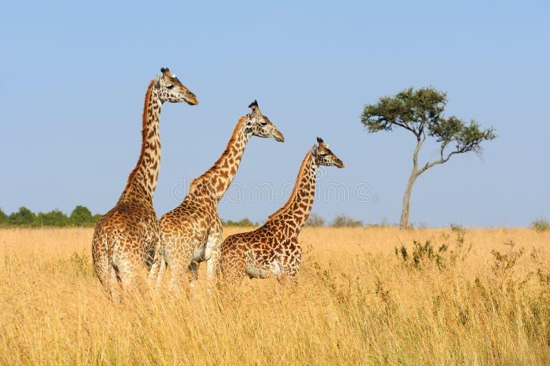 Jirafa en el parque nacional de Kenia imagen de archivo libre de regalías