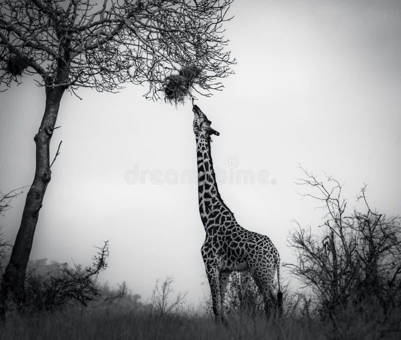 Jirafa en el parque nacional del oeste Kenia la África del Este de Tsavo eating Rebecca 36 imagen de archivo libre de regalías