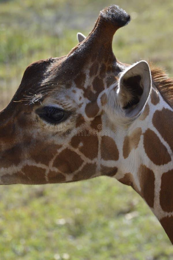 Jirafa en el parque zoológico de Jacksonville foto de archivo