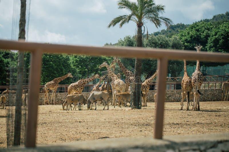 Jirafa en el parque zoológico Italia del safari del apulia de Fasano fotografía de archivo libre de regalías