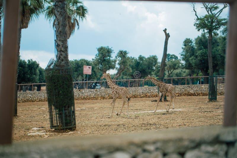 Jirafa en el parque zoológico Italia del safari del apulia de Fasano fotos de archivo libres de regalías