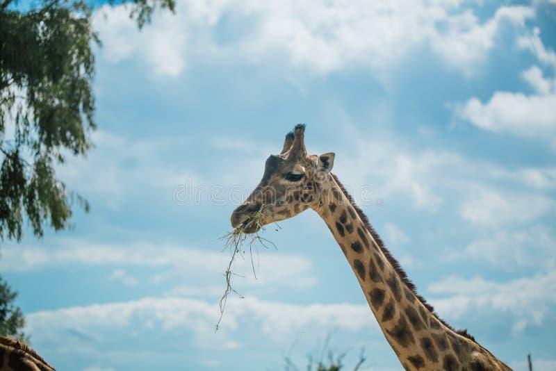 Jirafa en el parque zoológico Italia del safari del apulia de Fasano foto de archivo