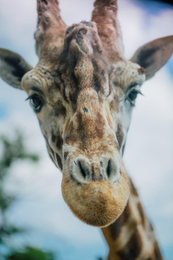 Jirafa en el parque zoológico Italia del safari del apulia de Fasano foto de archivo libre de regalías