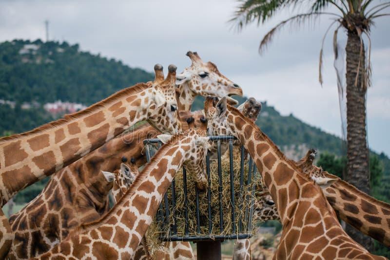 Jirafa en el parque zoológico Italia del safari del apulia de Fasano imágenes de archivo libres de regalías